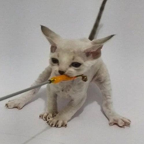 Royal Elvin Ernesto Devon Rex male kitten