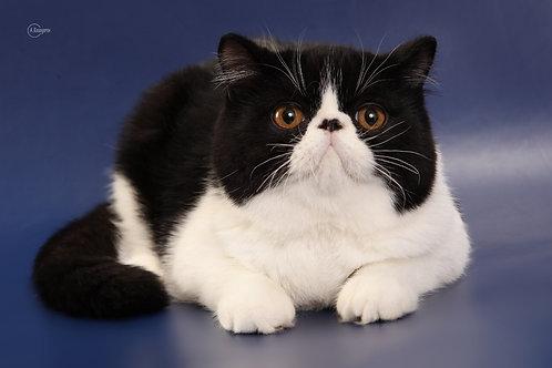 Ikar black&white color Exotic shorthair male kitten