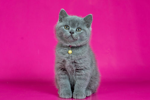Darwin British shorthair male kitten