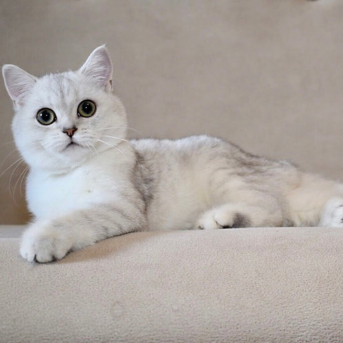 Amanda British shorthair female kitten