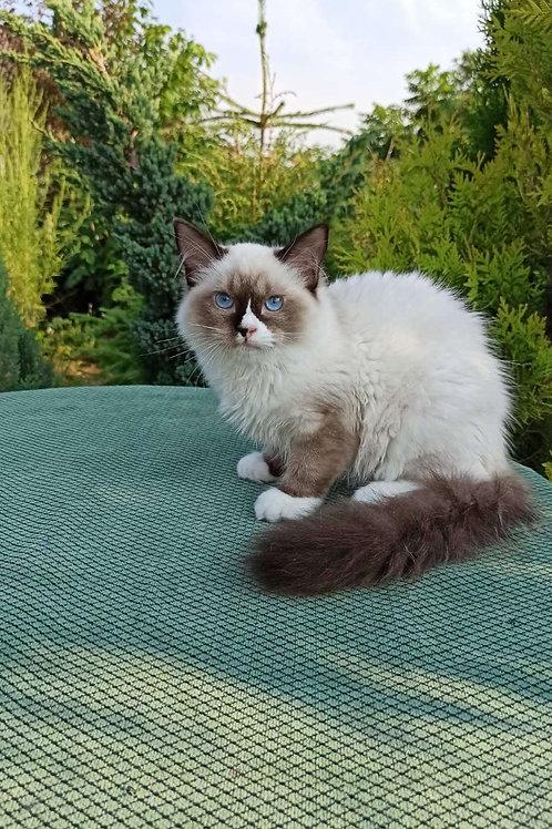 176 Daniel  purebred Ragdoll male kitten
