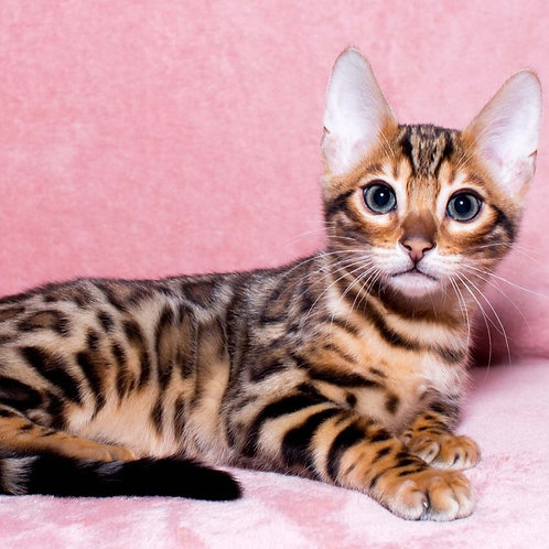 Lepesay purebred Bengal male kitten