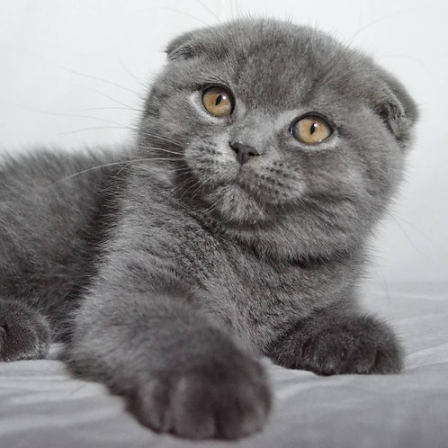Rikki Scottish fold shorthair male kitten