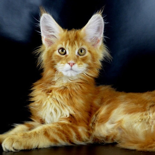 Dublin Maine Coon in a red marble color