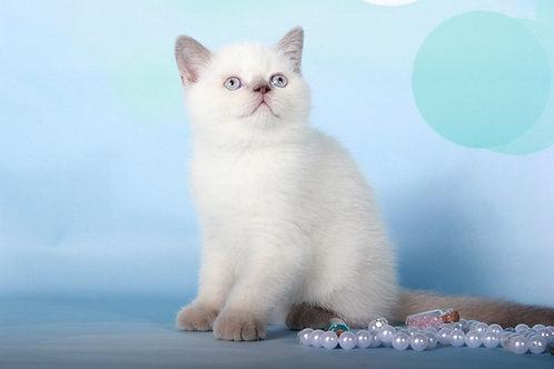 Yoshi lilac color point Scottish fold male kitten
