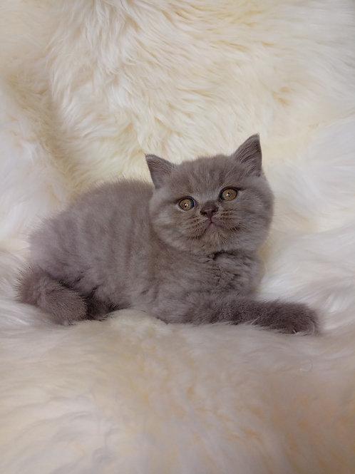 Nick British shorthair male kitten