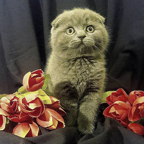 Le Grand blue color Scottish fold male kitten