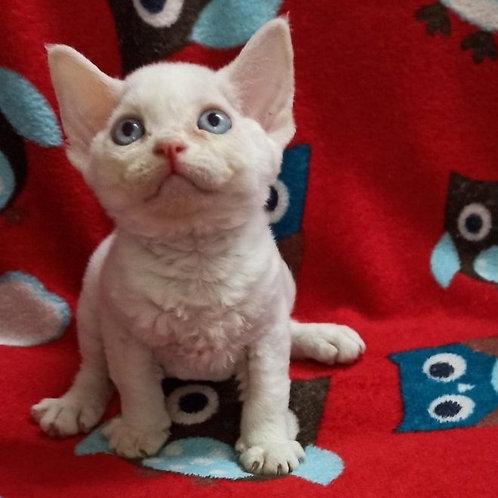 Bella female kitten Devon Rex