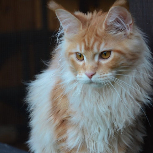 Lola purebred red marble color female Maine Coon