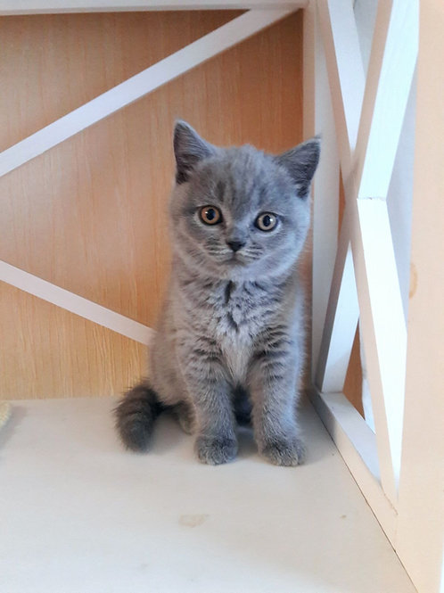 Zlata British shorthair female kitten