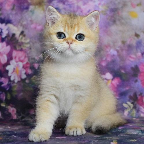 864 Clerk  British shorthair male kitten