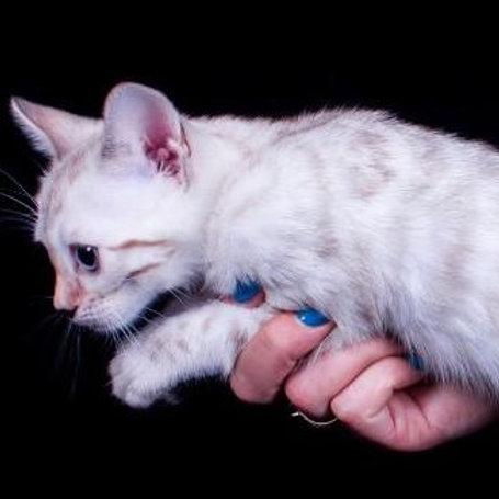 Kapelka purebred Bengal female kitten