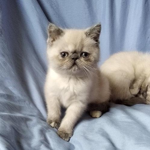 Rita color point Exotic shorthair kitten