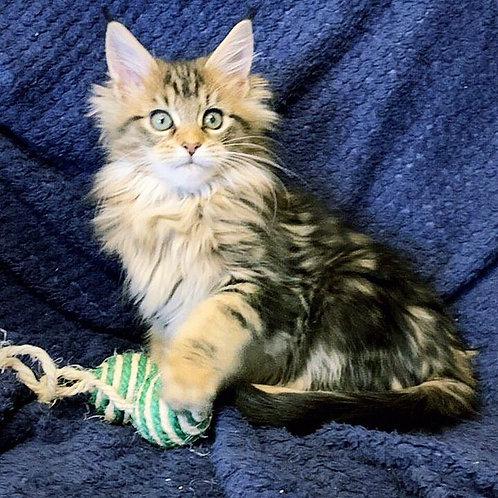 Dilyara Maine Coon female kitten