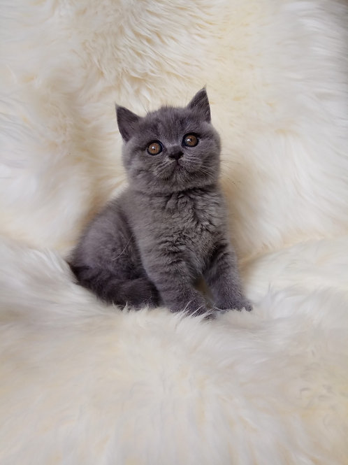 Nusha British shorthair female kitten