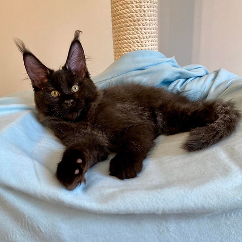 413 Winch  Maine Coon male kitten