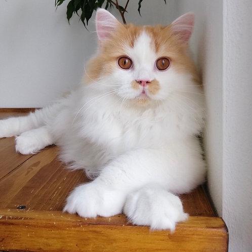 Elvis Scottish straight longhair male kitten