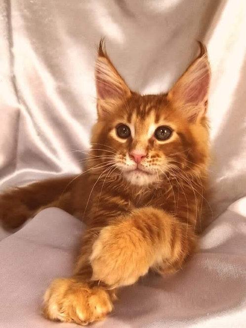 765 Columbus Maine Coon male kitten