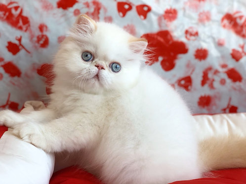Shifon Persian male kitten