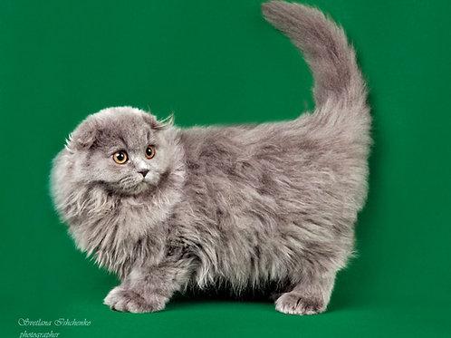 Garfiled Scottish fold male kitten