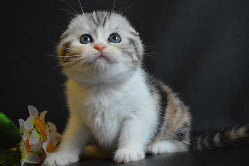 Kitty Scottish fold female kitten