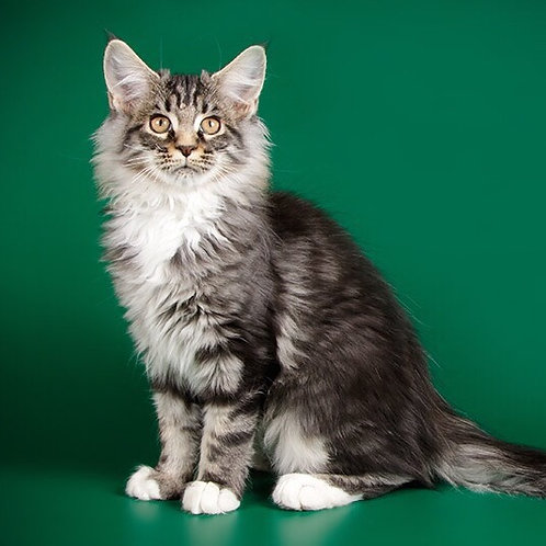 Sandra black silver with white color female Maine Coon