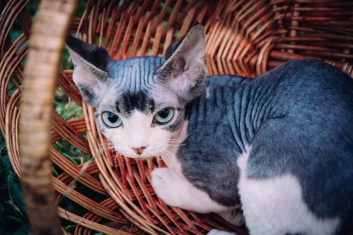 Dilan purebred Devon Rex kitten with green eyes
