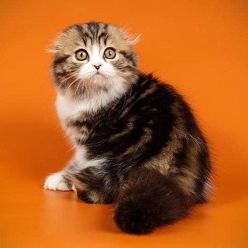 Star Lola Scottish fold female kitten