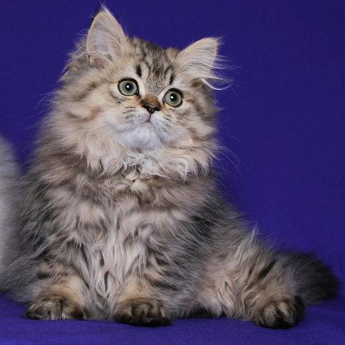 121 Caesar Persian male kitten