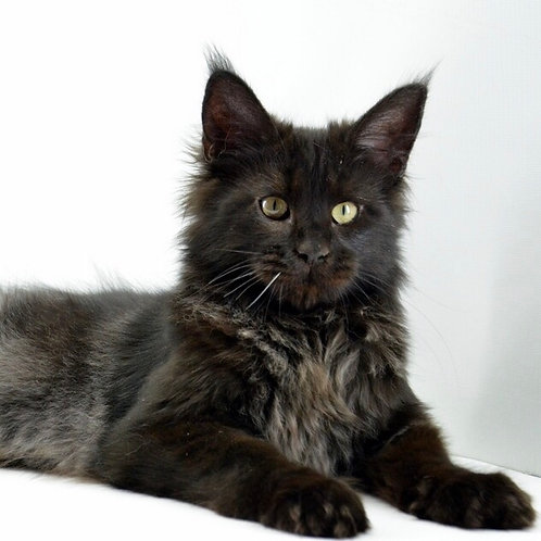 Van Dame Maine Coon in a black solid color with orange ey