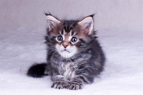 Osmantus Maine Coon black blotched color male kitten