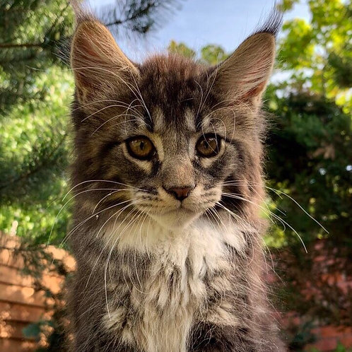 Admir Maine Coon in a blue silver marble color