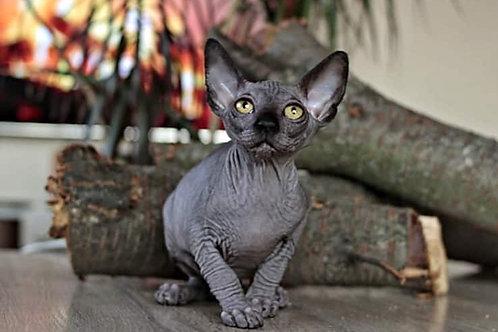 Garold male Sphinx kitten in a black color