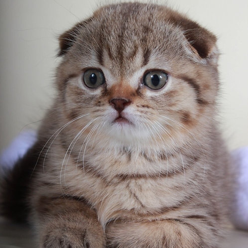 Pandora female Scottish fold kitten in a chocolate tabby color