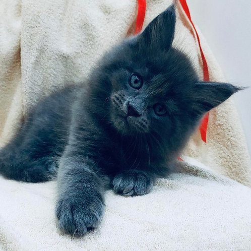 828 Foma Maine Coon male kitten