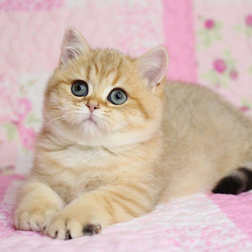 Crisby purebred British shorthair female kitten