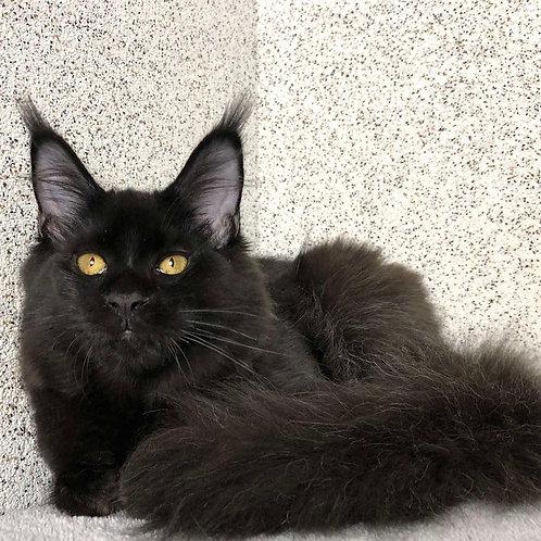 753 Yolanda Maine Coon female kitten