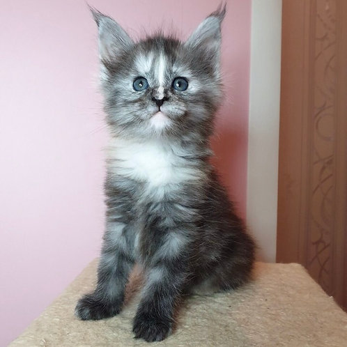 YInfiniti Maine Coon in a smoky tortie color