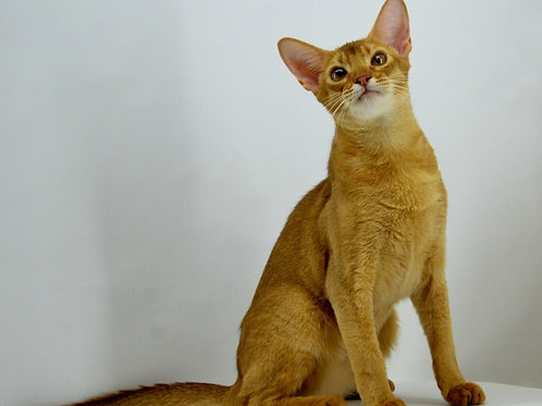 Charlie purebred Abyssinian male kitten