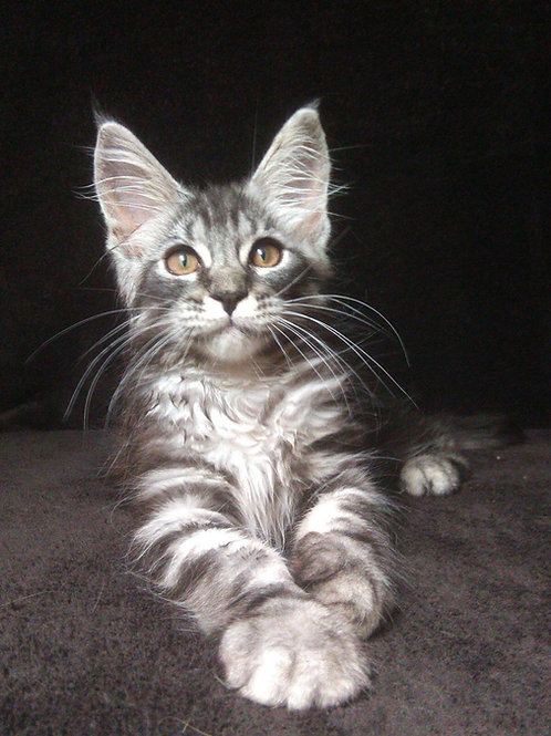 Gregor Maine Coon in a black silver marble color
