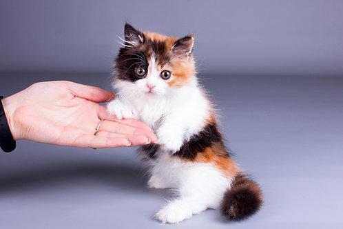 Balenciaga Munchkin female kitten
