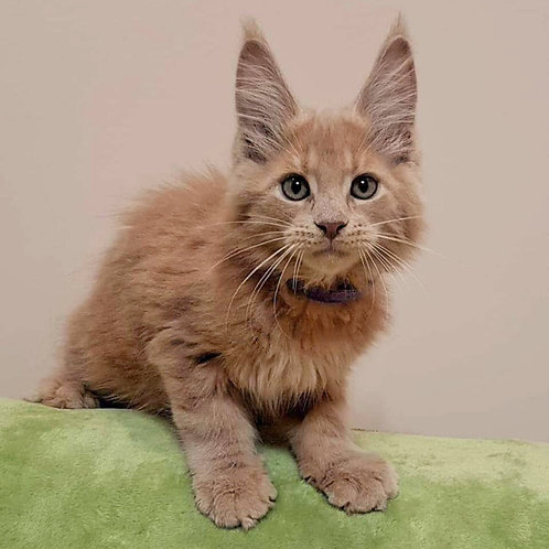 Marvel pure breed Maine Coon male kitten
