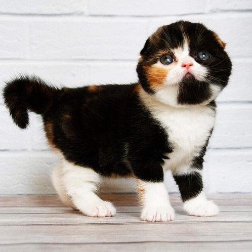 Elka Scottish fold shorthair female kitten