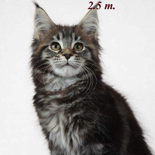 Elizabet Maine Coon black marble color female cat