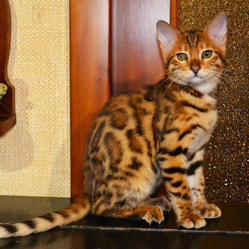 Ives purebred Bengal male kitten