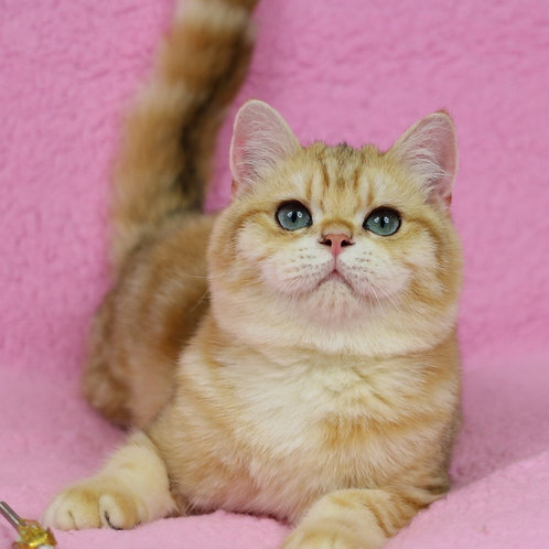 Ulver British shorthair male kitten