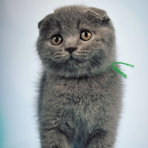 Kus communicative Scottish fold shorthair male kitten