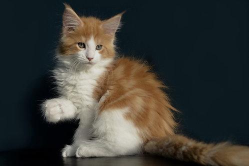 Rustam Maine Coon kitten
