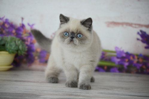 Zefir Exotic shorthair male kitten