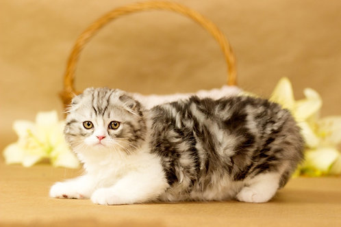 659 Quest   Scottish fold longhair male kitten